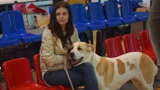 Выставки собак. 30 сентября и 1 октября 2017. Среднеазиатские овчарки.