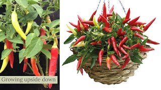 growing upside down banna peppers technology