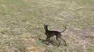 DEVLIN, Windspiel oder Tasmanischer Teufel?
