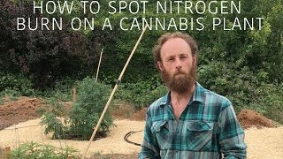 How to Spot Nitrogen Burn on a Young Cannabis Plant