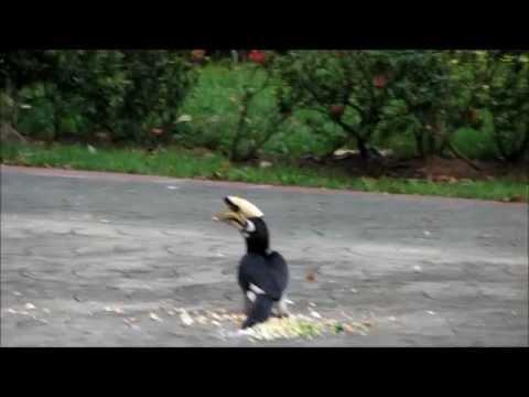 Oriental Pied Hornbill feeding