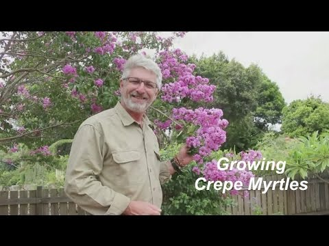 How to Grow Crepe Myrtle