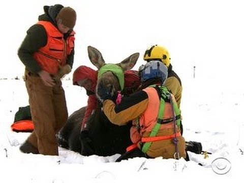 What's killing Minnesota's moose population?