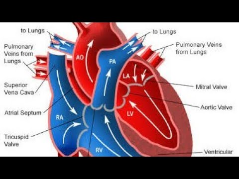 Biology heart functions blood circulation in heart simple biology heart functions blood circulation in heart simple explanation hindi ccuart Image collections
