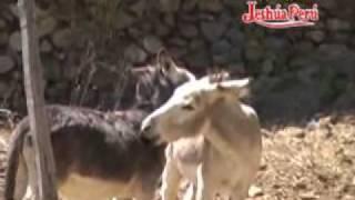 ejemplo de dos burros thumbnail