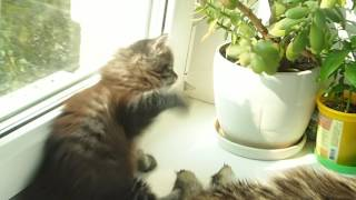 Сибирская кошка. 1,5 месяца.