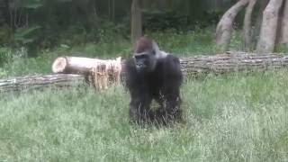 kijito one killa gorilla attack compilation