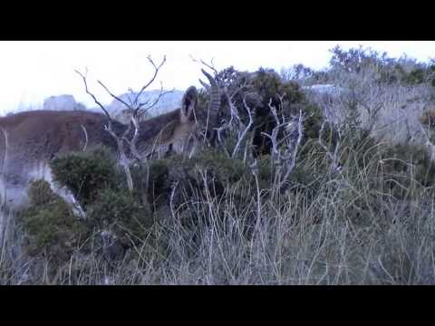 Cabra Montés Íbice Ibérico Capra Pyrenaica Iberian Ibex Grazalema Cádiz Spain