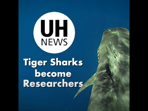 Tiger Sharks Serve As Mobile Oceanographers In UH Research