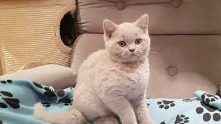 Layla the British Shorthair Kitten & How we found this Breed