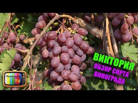 Виктория виноград