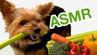 Giant Yorkie eating veggies ASMR Mukbang