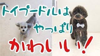 トリミング後のトイプードル[兵庫ペット医療センター トリミング 尼崎 犬動画 ]Happy dog glooming thumbnail