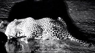 Leopard out for an evening drink at Djuma! 12 November 2018