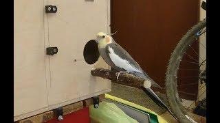 КОГДА СТАВИТЬ ГНЕЗДО - домик для попугая? Кореллы хотят птенцов!