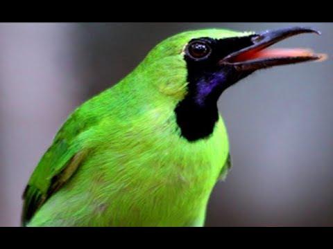 Siulan Burung Cicak Ijo Kuch Kuch Hota Hai