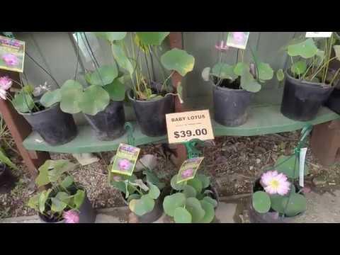 Đi xem cảnh đẹp đầm sen Blue Lotus Garden tại Melbourne- 09/01/2018 - phần 1