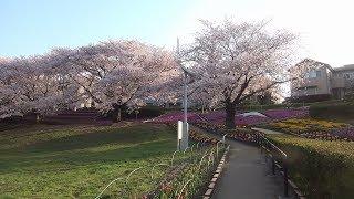 2018.03.31 座間市「かにが沢公園」桜満開の様子