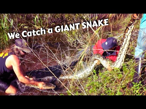 We Catch A Monster Snake In The Everglades