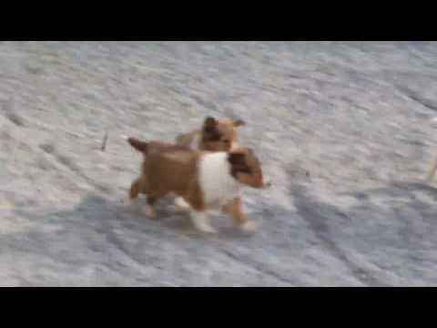 Shetland Sheepdog Puppies For Sale