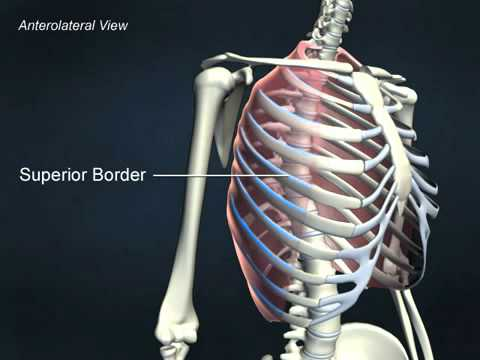 external intercostals - anatomyonlinecourse - youtube, Human Body