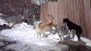 Собачья драка(две собаки сцепились, и подбежали ещё две., 2008-04-01T13:29:18.000Z)