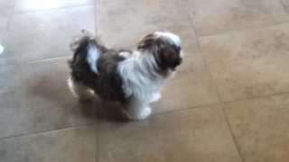 Shih tzu puppy rushes to go potty