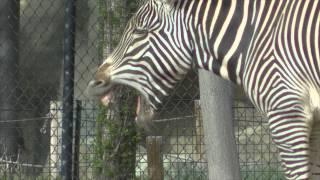 Zebra And Somali Wild Donkey Make Funny Faces