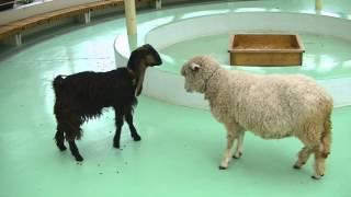 ヤギ vs ヒツジ 仁義なき戦い / Goat vs Sheep