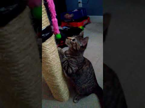 Cat playing with toy She goes nuts (watch til the end)
