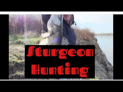 Hunting For Sturgeon On North Saskatchewan River