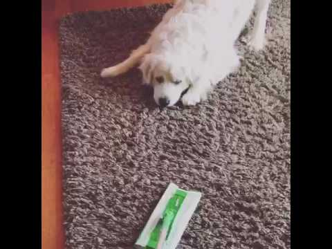 Great Pyrenees VS Swiffer