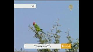 В Индии маковые поля атаковали попугаи-наркоманы