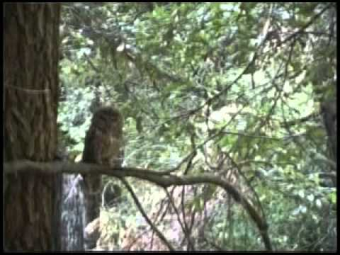 SNAMP Spotted Owl Video