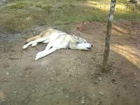Howling Wolfdog Peto Youtube