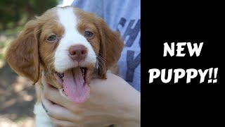 WE GOT A PUPPY!! (Brittany Spaniel)