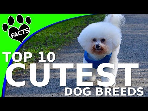 Top 10 Cutest Small Dog Breeds Dogs 101 (w/ Ozzie Bichon Frise) - Animal Facts