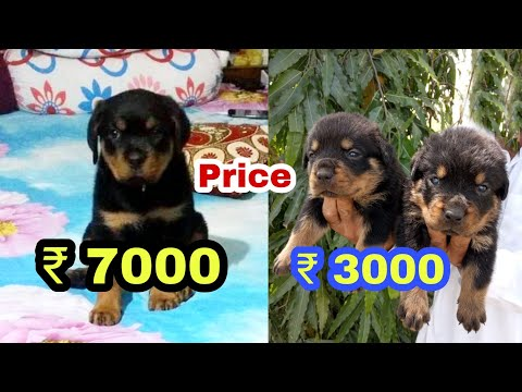 rottweiler-puppy-price-difference