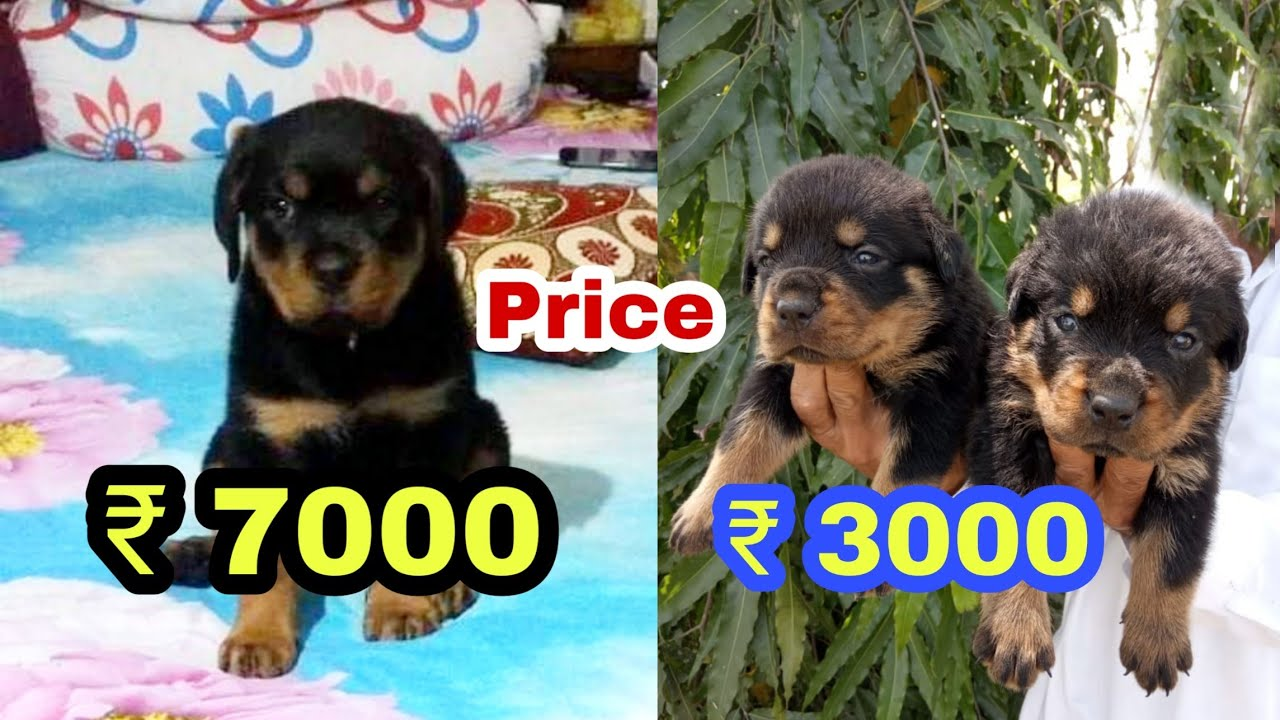 Rottweiler Puppy Price Difference Youtube