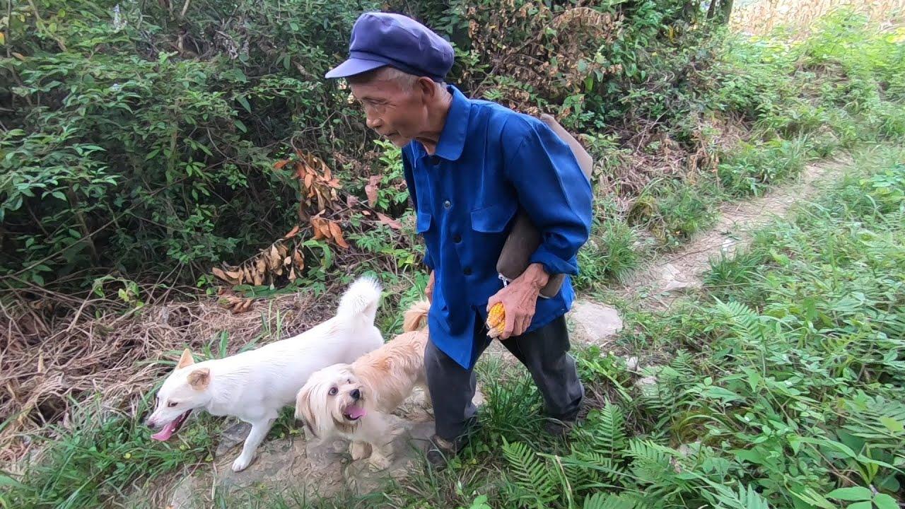主人天天上坡收玉米,田園犬天天都跟著,再遠的路都跑得很歡快