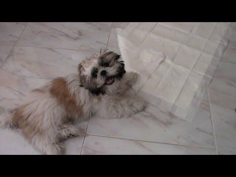 Как БЫСТРЕЕ приучить щенка к пеленке