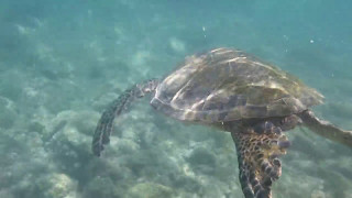 Sea Turtles at the Fairmont Orchid