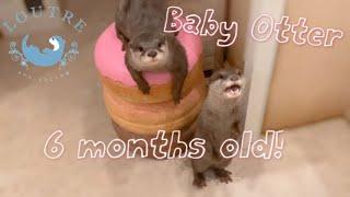 カワウソの赤ちゃん、生後3~6カ月の驚くべき成長ぶり!【未公開シーンあり】Baby Otter's Amazing Growth (Unreleased Footage!)