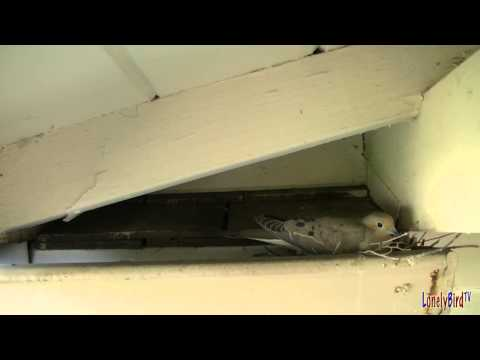 Mourning Dove Nesting Day 2 March 29 2013