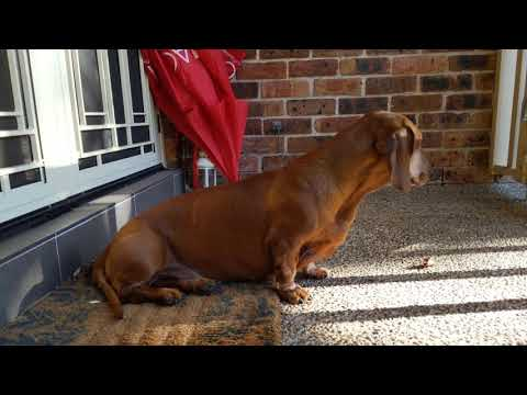 Bam the standard red dachshund says 'boof', checks the garden