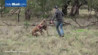 Kutyamentés a kenguru karmaiból egy szép jobbossal