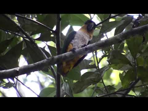 Loro De Cabeza Negra (Pionites melanocephalus) – Black-headed Parrot