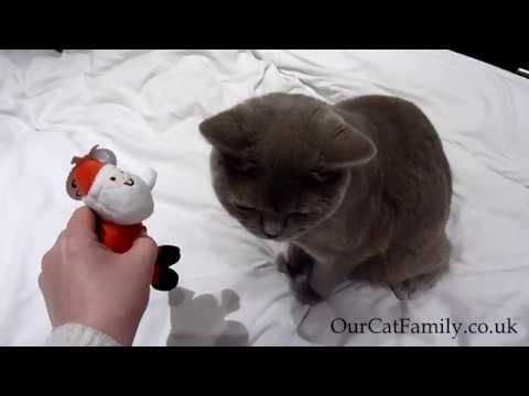British Shorthair Cat Thomas with his Christmas Present