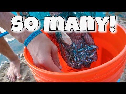 MINNOW RESTOCK!!! *Mosquito Fish*