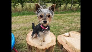 Coco the Yorkshire Terrier  Novice Trick Dog Title  DMWYD